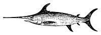 Old engraved illustration of a swordfish, isolated on white  Live traced  From the Trousset encyclopedia, Paris 1886 - 1891