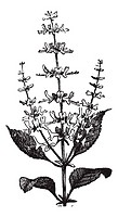 Sweet Basil or Ocimum basilicum, vintage engraving  Old engraved illustration of a Sweet Basil plant