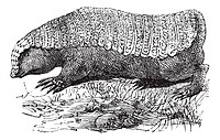 Pink Fairy Armadillo or Pichiciego or Chlamyphorus truncatus, vintage engraving  Old engraved illustration of a Pink Fairy Armadillo