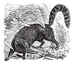 Ring-tailed Coati or South American Coati or Nasua nasua, vintage engraving  Old engraved illustration of a Ring-tailed Coati