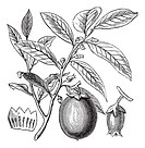 American Persimmon or Diospyros virginiana, vintage engraved illustration, showing flowers and fruit  Trousset encyclopedia 1886 - 1891