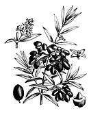 Common olive or Olea Europaea, vintage engraved illustration  Trousset encyclopedia 1886 - 1891
