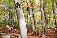 Fageda d´en Jordà,Garrotxa Natural Park,Girona province  Catalonia  Spain