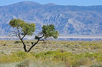 Lone tree in Owens Lake bed, California, USA
