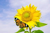 Sunflower and orange butterfly