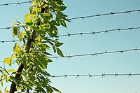 Branch with young leaves. Against the backdrop of barbed wire and the sky.