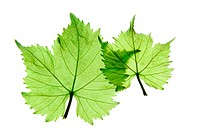 Two different sized grape leaves in front of isolated white background. Looks like a mother and a child