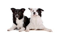 two border collie sheepdogs