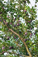Plum Tree with Fruit