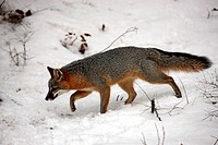 Gray fox,Urocyon cinereoargenteus,Montana,USA,North America,adult searching for food in snow