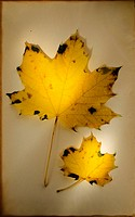 Autumn leaves, studio shot