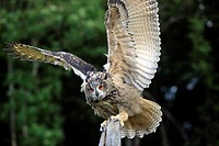Eagle Owl,Bubo bubo,Germany,Europe,adult on brach