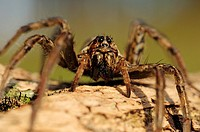 European Wolf Spider or False Tarantula Hogna radiata