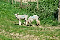 England, North Yorkshire. Spring lambs in a field.
