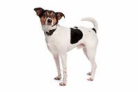 Boerenfox terrier