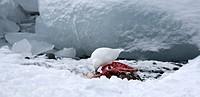 Snowy sheathbill Chionis albus