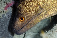 Tropical moray