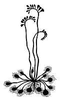 vector silhouette sundew on white background