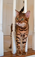 Bengal Cat on stairs