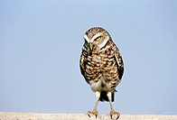 Burrowing owl (Athene cunicularia) looking - no nonsense! Florida, USA