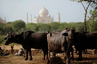 A group of cows with the Taj Mahal in the background. Agra, India