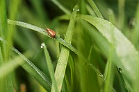 Weevil on dew_covered grass