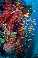 Lyretail anthias or Goldies Pseudanthias squamipinnis on coral reef with soft corals  Red Sea, Egypt