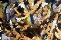 Pajama cardinalfish Sphaeramia nematoptera  Manado, North Sulawesi, Indonesia