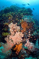 Coral reef scenery with gorgonian, soft corals and Lyretail anthias Pseudanthias squamipinnis  Rinca, Komodo National Park, Indonesia