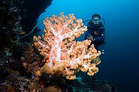 Diver with soft coral  Indonesia
