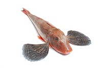 Whole single red tub gurnard fish with spread fins on white background