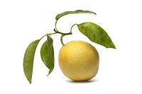 Whole single Citrus Medica fruit on white background