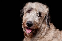 Irish Wolfhound, male