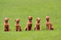 Hungarian Wire_haired Pointing Dogs / Magyar Vizsla