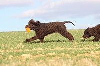 Irish Water Spaniel / side, toy