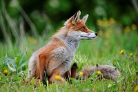 Red Fox, Norway / Vulpes vulpes