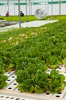 Thymebank Herbs, hydroponic farm, Marlborough, South Island, New Zealand
