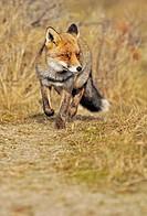 Red fox Vulpes vulpes running down animal track, the Netherlands
