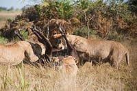 A pack of lions feed on a water buffalo kill in Botswana.