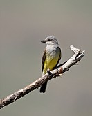 Western kingbird Tyrannus verticalis, Okanogan County, Washington State, United States of America, North America