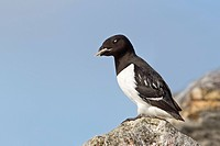 Little Auk Alle alle adult male, summer plumage, with stone in beak as offering to female in breeding colony, Spitzbergen, Svalbard, july