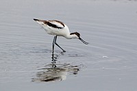 Eurasian Avocet Recurvirostra avocetta juvenile, feeding in shallow pool, Minsmere RSPB Reserve, Suffolk, England, september