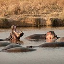 Hippos hippopotamus amphibius in a pond in the Serengeti National Park, Tanzania