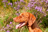 Close_up of a Vizsla Dog in Profile with Wildflowers