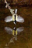 Great Tit Parus major adult male, drinking, with wings spread for balance, hanging over pool with reflection, Suffolk, England, march