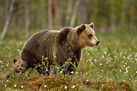 European Brown Bear Ursus arctos arctos adult female with cub, in taiga forest, Finland, june