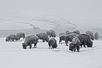 North American Bison Bison bison herd, feeding in snow, Yellowstone N P , Wyoming, U S A , february
