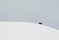 North American Bison Bison bison adult, standing on snow covered hillside, Yellowstone N P , Wyoming, U S A , february