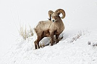Bighorn Sheep Ovis canadensis adult male, feeding in snow, Yellowstone N P , Wyoming, U S A , february