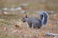 Eastern Grey Squirrel Sciurus carolinensis introduced species, adult, with acorn in mouth, Minsmere RSPB Reserve, Suffolk, England, october